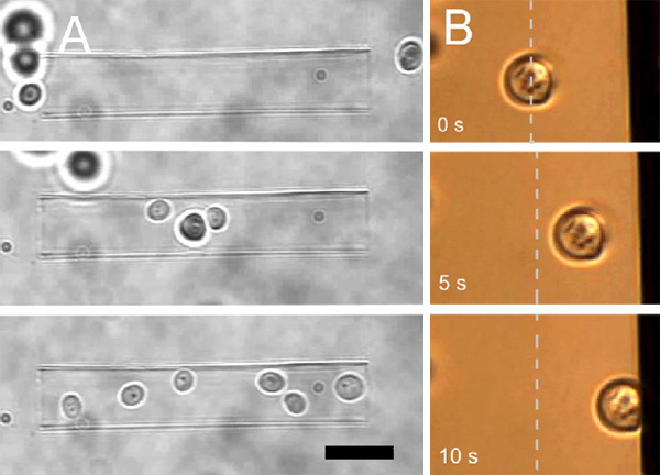 Yeast cells manipulated with optical tweezers