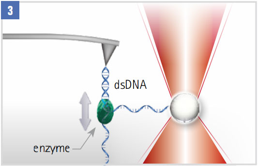 Single Molecule AFM (DNA)