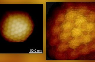 AFM in Virus Research