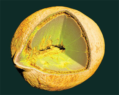 Microtomography Scan of a Lemon