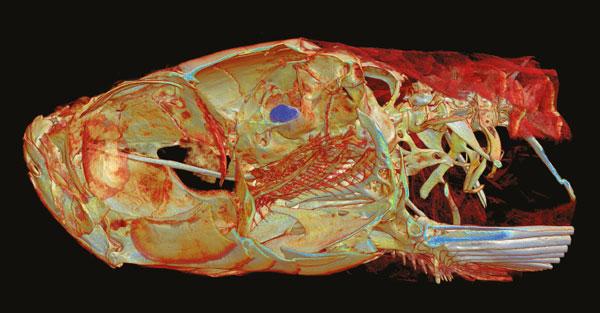 Micro-tomography scan of zebra fish head bones